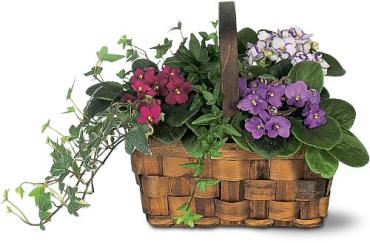 Mixed African Violet Basket TF