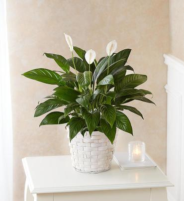 Peace Lily Plant 6""