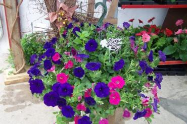 Flowering Hanging Basket Medium